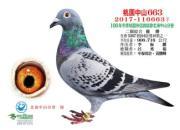 台湾中泰鸽舍2017下半年度赛鸽生活记录