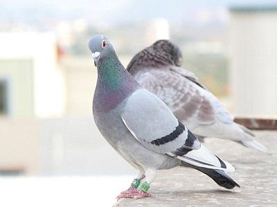 信鸽有没有自然规律?没有!