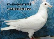 晒获奖鸽:意外飞来的小白