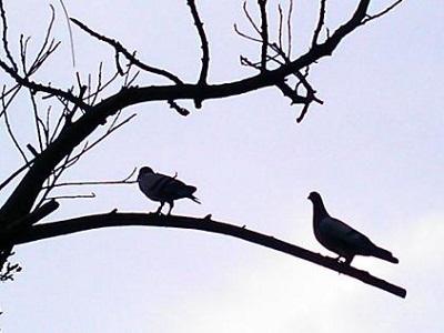养鸽要精益求精 必须时刻保持理智