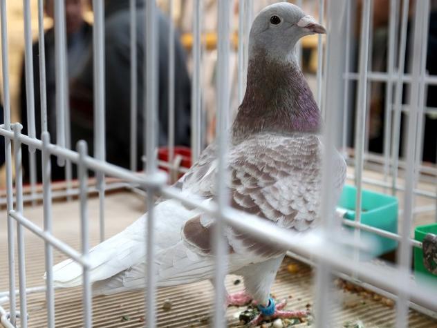 第八届比利时国际鸽展开幕 中国展商参展