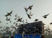 鸽界追潮心惊胆战――不破不进