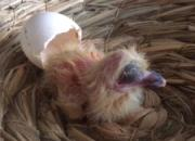 视频:观蛋壳看幼鸽健康