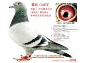 每日一鸽:乔斯托内之嘉比号