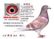 每日一鸽:七万羽国家赛十名红霸龙