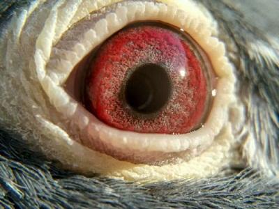好种不怕近亲配――保持种鸽纯度的重要性