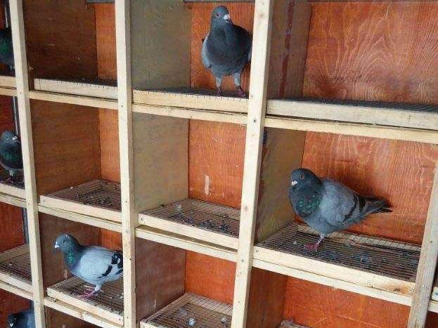 巢箱易引发信鸽打斗