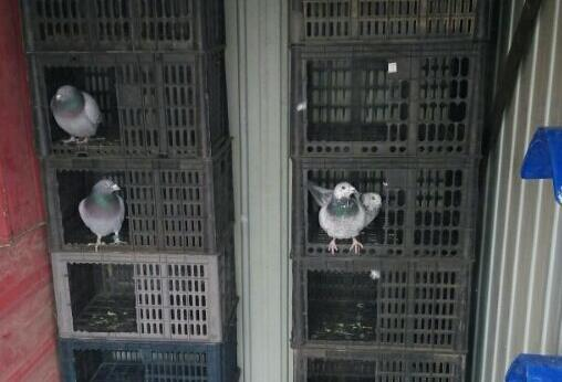 开始养鸽之路