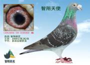 90%超远程鸽都具有的外部特征