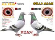 每日一鸽:上海龙园之黄金配对
