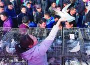 媒体:恩城鸽子会正月十七收官 交易量达万羽