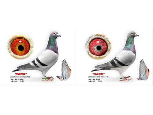 每日一鸽:内蒙古巴特尔之百万配对