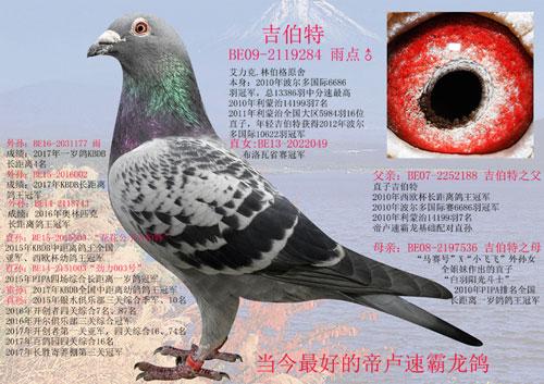 每日一鸽:唐山凤武五虎上将之吉伯特