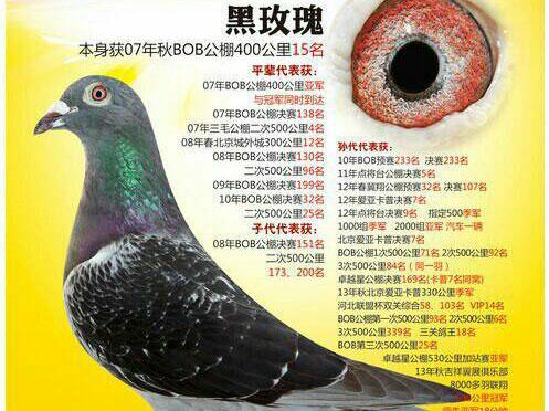 """每日一鸽:旭日�川超级种雌""""黑玫瑰"""""""