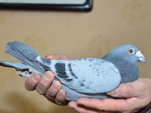 每日一鸽:陕西搏青超级6060