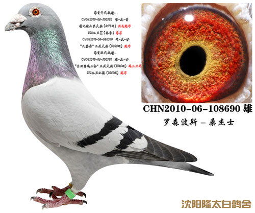 每日一鸽:辽宁隆太白鸽舍主力种雄