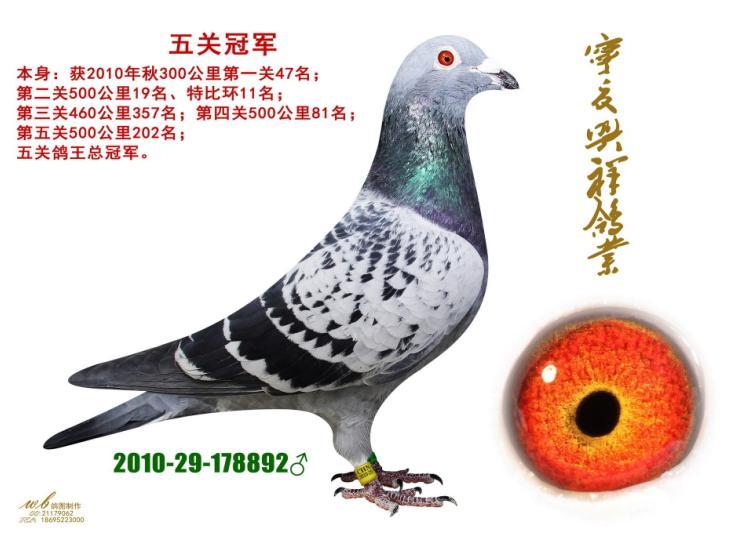 每日一鸽:宁夏名家马占祥之冠军配对