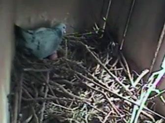 趣味视频:这羽鸽子胆儿真肥 相中了老鹰的窝