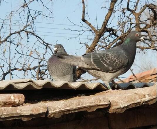 鸽子要想养得好 三样东西少不了
