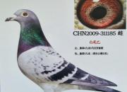 《老庄说鸽》:我的养鸽三部曲