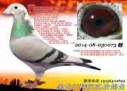 每日一鸽:哈尔滨蓝天五关特比总冠军