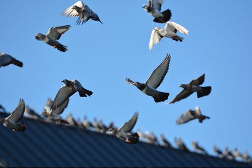 候鸟与鸽子