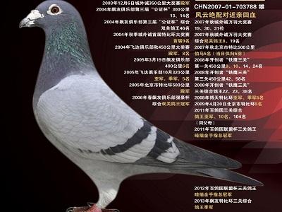 每日一鸽:王大亮名鸽之风云再起