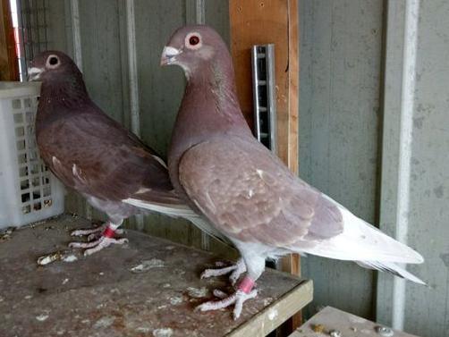 小短嘴红鸽子 鸽友们喜欢吗?