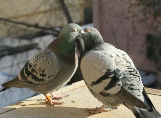高清组图:晒晒我的爱鸽