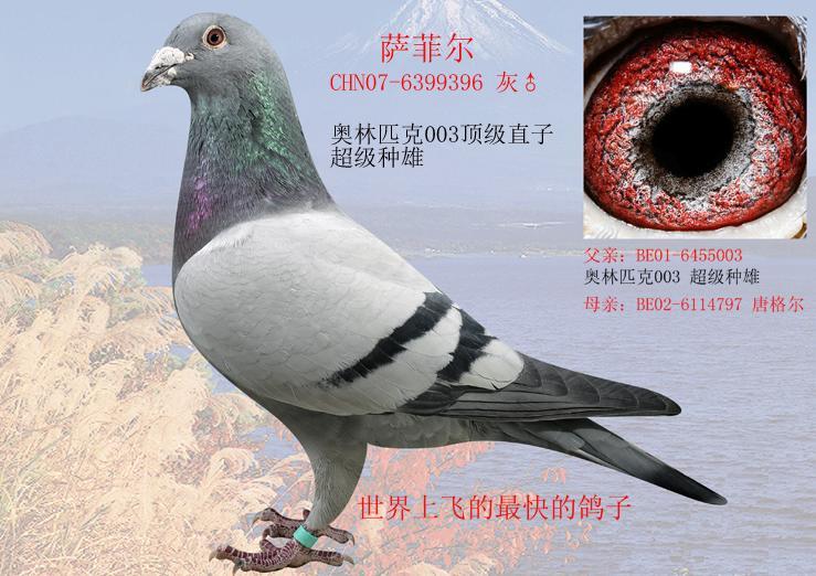 每日一鸽:五虎上将之萨菲尔
