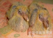 百科经验分享:雏鸽从出壳到开家怎么喂养?