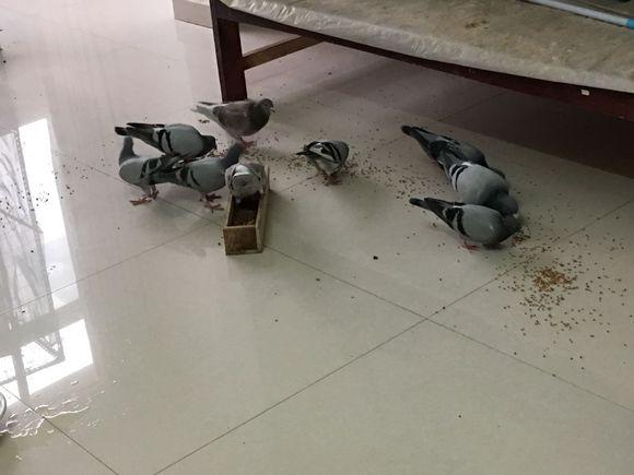 上班族房间养鸽图个乐 还有谁?