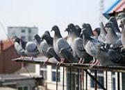 百科经验分享:幼鸽开家需掌握好时机