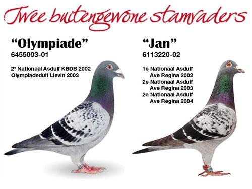 """每日一鸽:短距离称王""""奥林匹克003"""""""