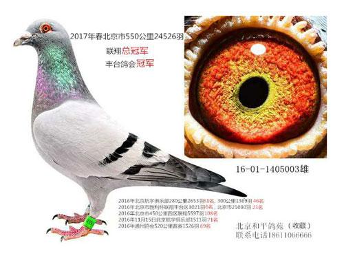 每日一鸽:北京全市联翔总冠军