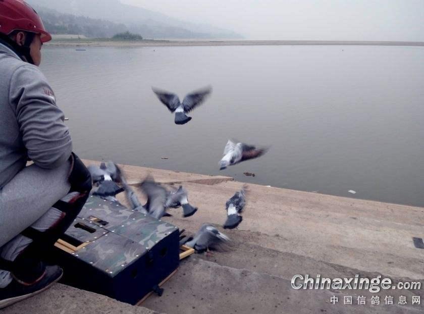 合理训放赛鸽 做文明养鸽人