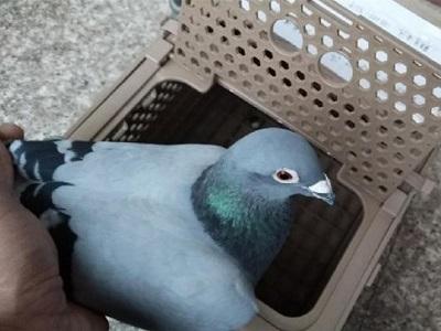 假环鸽无处不在 鸽友需擦亮眼睛