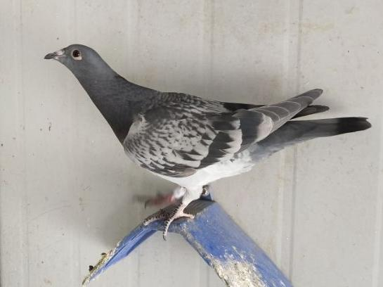我爱鸽子 看看我的鸽子咋样