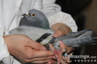 鸽常见病简捷鉴别诊断(下)