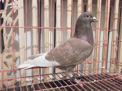 绛鸽:难以替代的育种利器