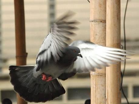 什么样的鸽子善飞?
