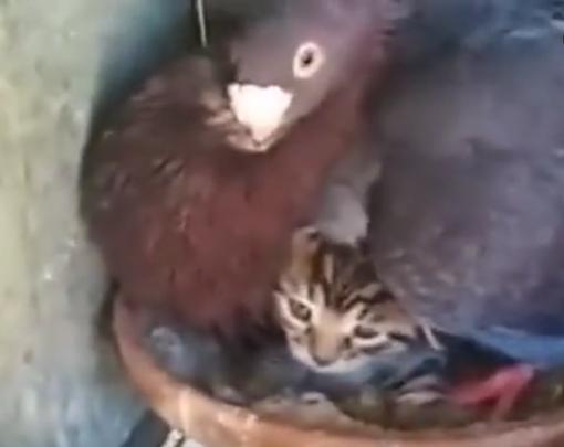 毁三观:鸽子生了只猫咪?(视
