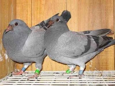 种鸽近亲配对的两个危害