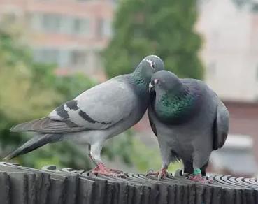 鸽友随笔 让大家乐呵乐呵