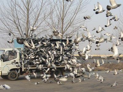 江南四月天 蓝色海湾收费站大规模丢鸽有感