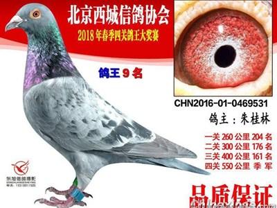 新手拍鸽不嫌多 网拍遇上京城鸽主