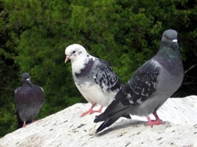 如何让爱鸽度过炎热的夏季