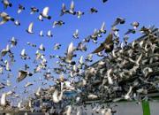 国外确实有好鸽 不过少得可怜?