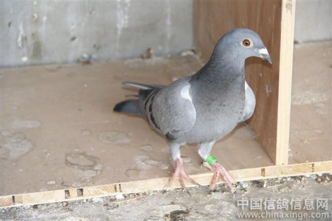 阿翁:只要看的真 鸽界水不深