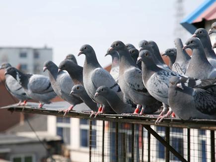 待到秋风起 丝瓜藤下收鸽喜